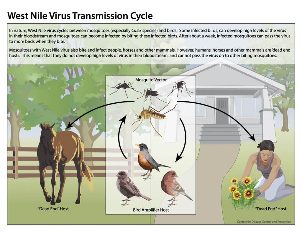 Image of West Nile Virus Transmission Cycle by CDC